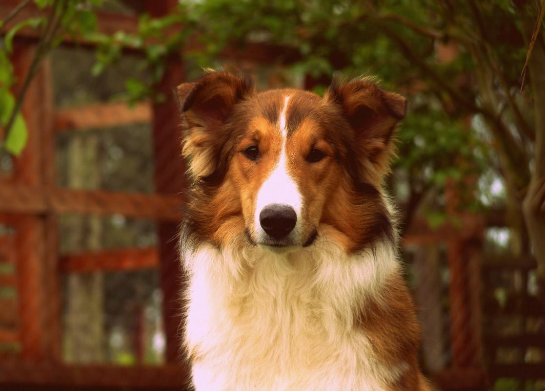 The Shetland Sheepdog Is Related To The Rough Collie Both