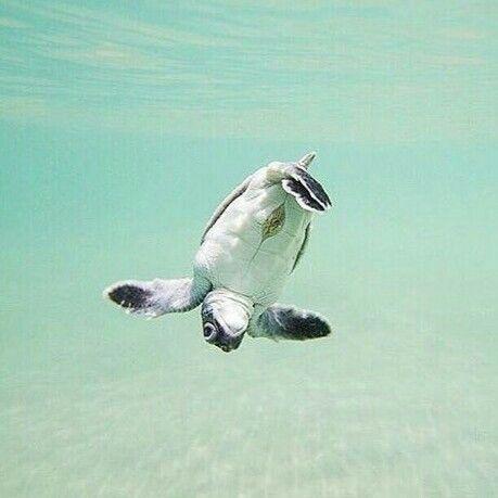 Adorable Baby Sea Turtle Cute Turtles Cute Animals Animals