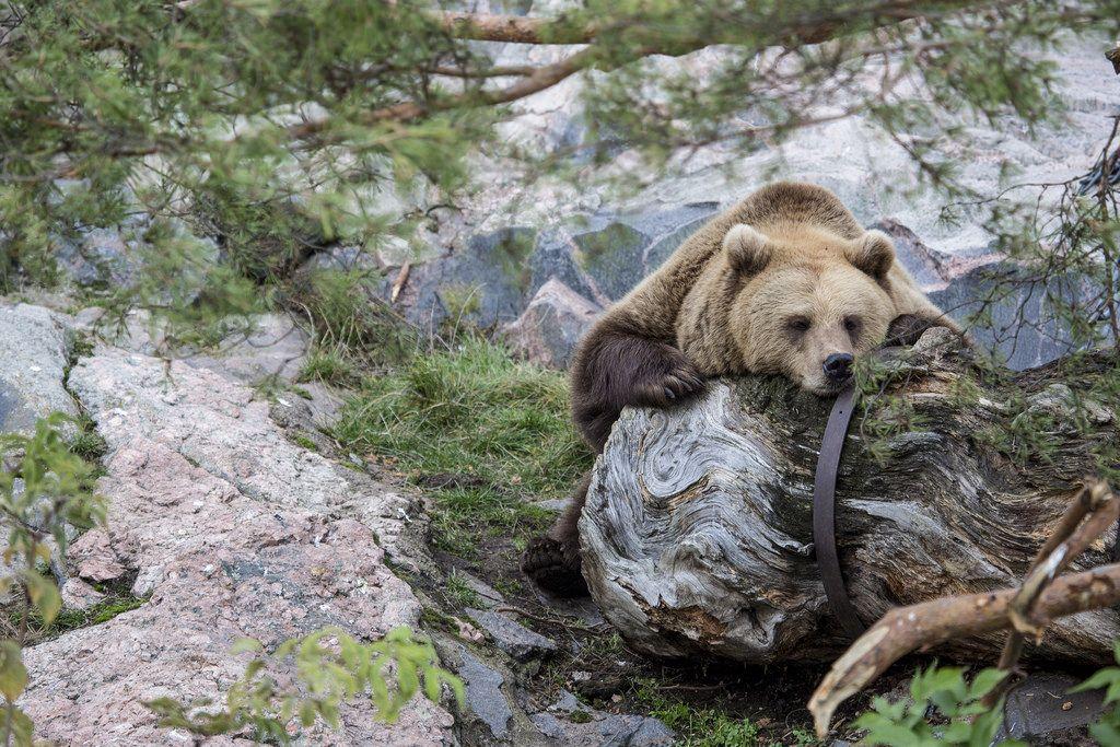 Brown bear ready for hibernation Picture by: Mari Lehmonen (2014) Helsinki Zoo archives - Katso kuva Flickrissä: http://www.flickr.com/photos/61934286@N04/14933772144
