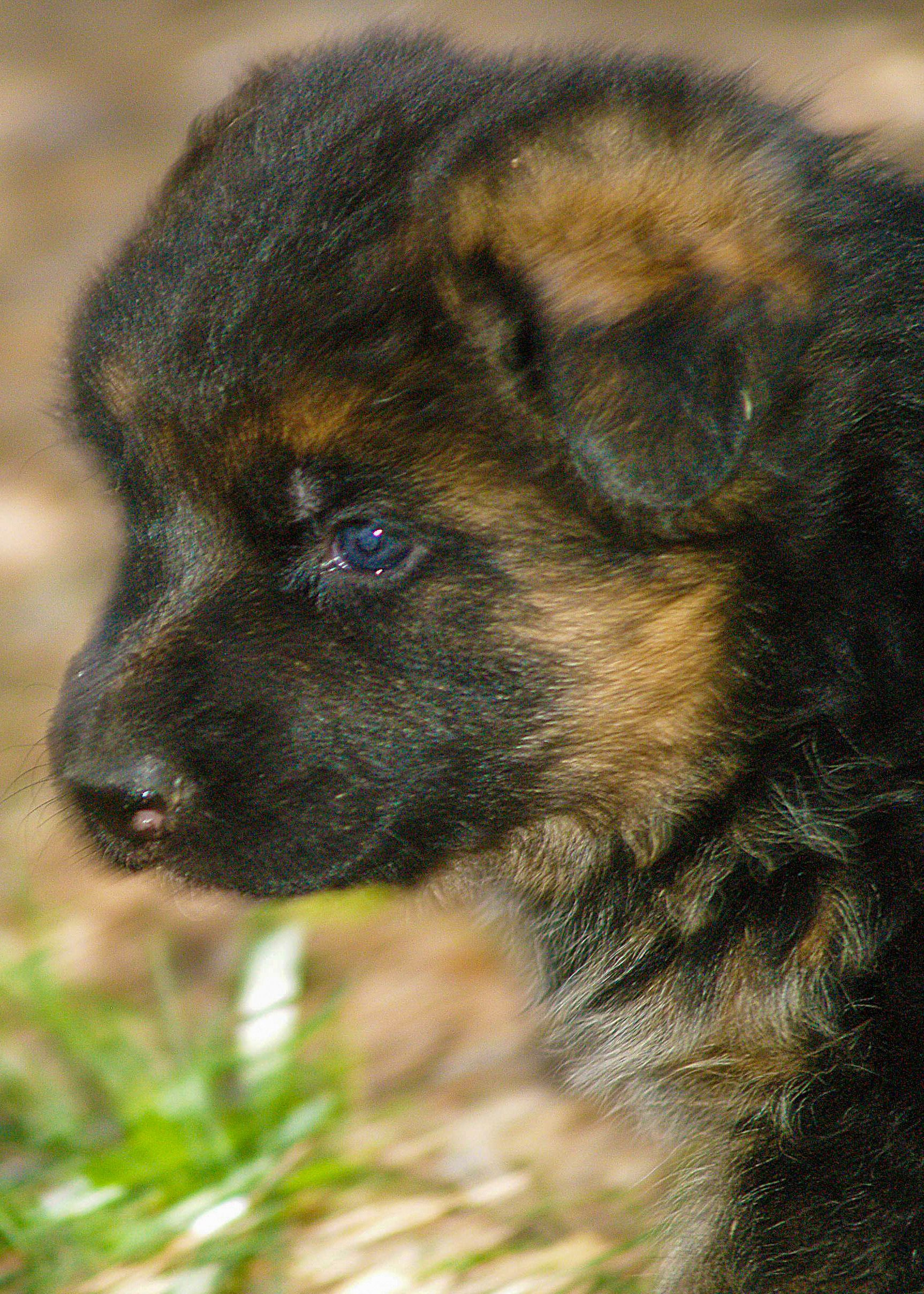 Red german shepherd puppies texas