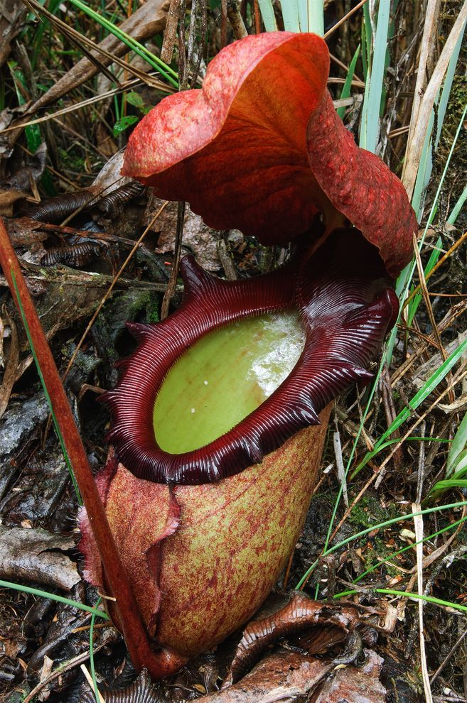 Nepenthes rajah World largest meat eating plant. Located
