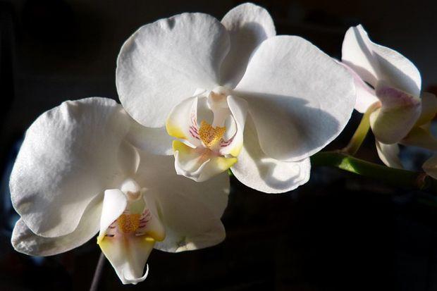 La Orquidea Phalaenopsis Cultivo Y Cuidados Hermosas Orquideas - Orquideas-blancas-cuidados