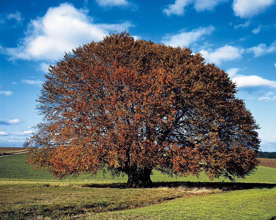 bavariabuche im herbst  alte bäume pflanzen
