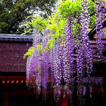 Wisteria Sinensis Lilac Wisteria Vine Beautiful Flowers Garden Gardening For Beginners Purple Wisteria