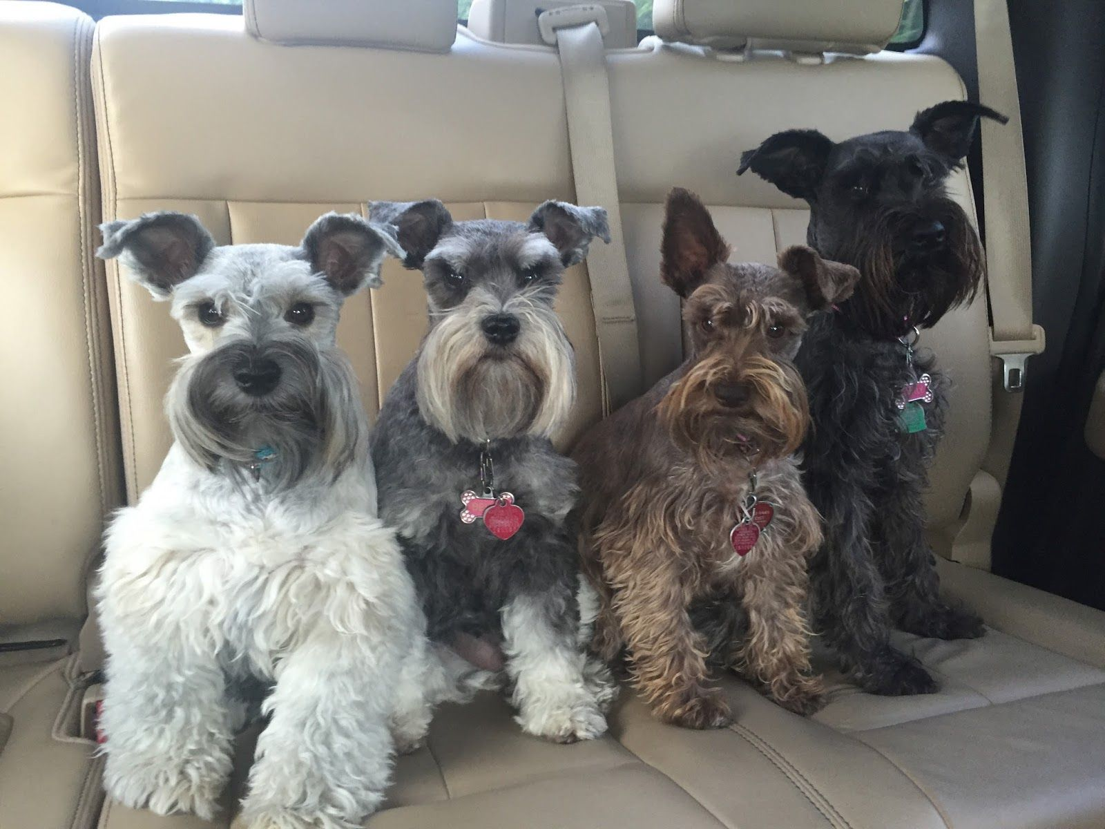 This blog is about my crazy life with five mini schnauzers. I write stories, recommend great products and offer advice.