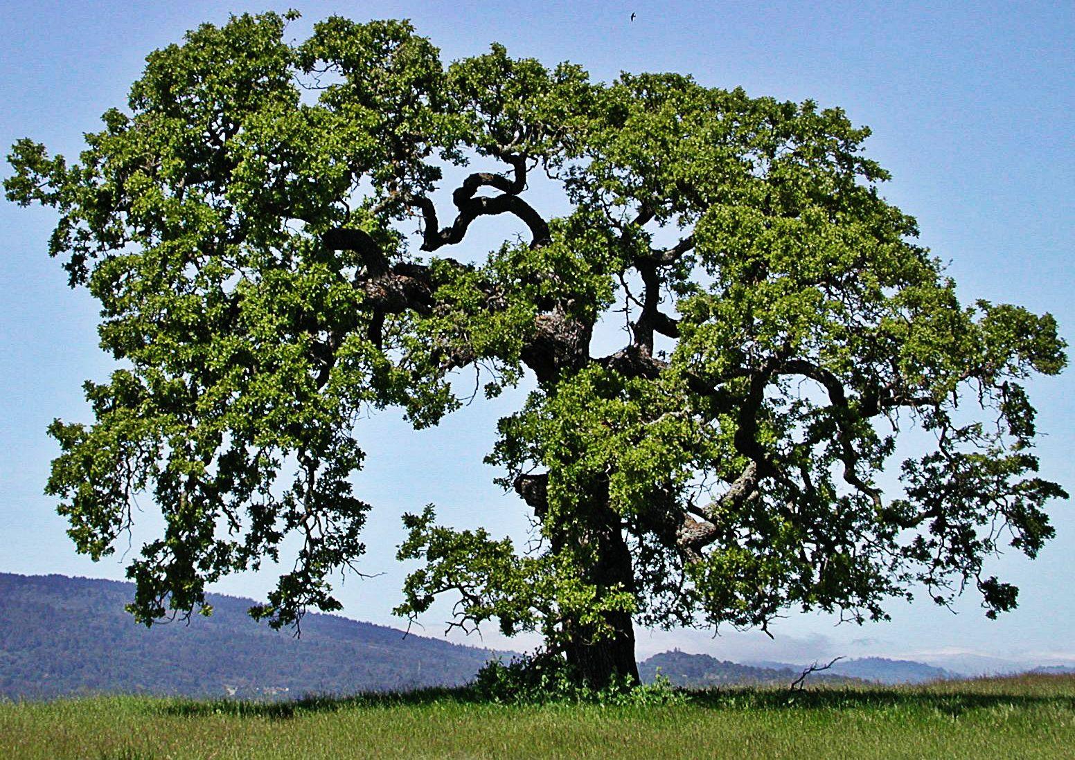 Árbol de Roble - típico del Estado Sucre   Típicos de ...