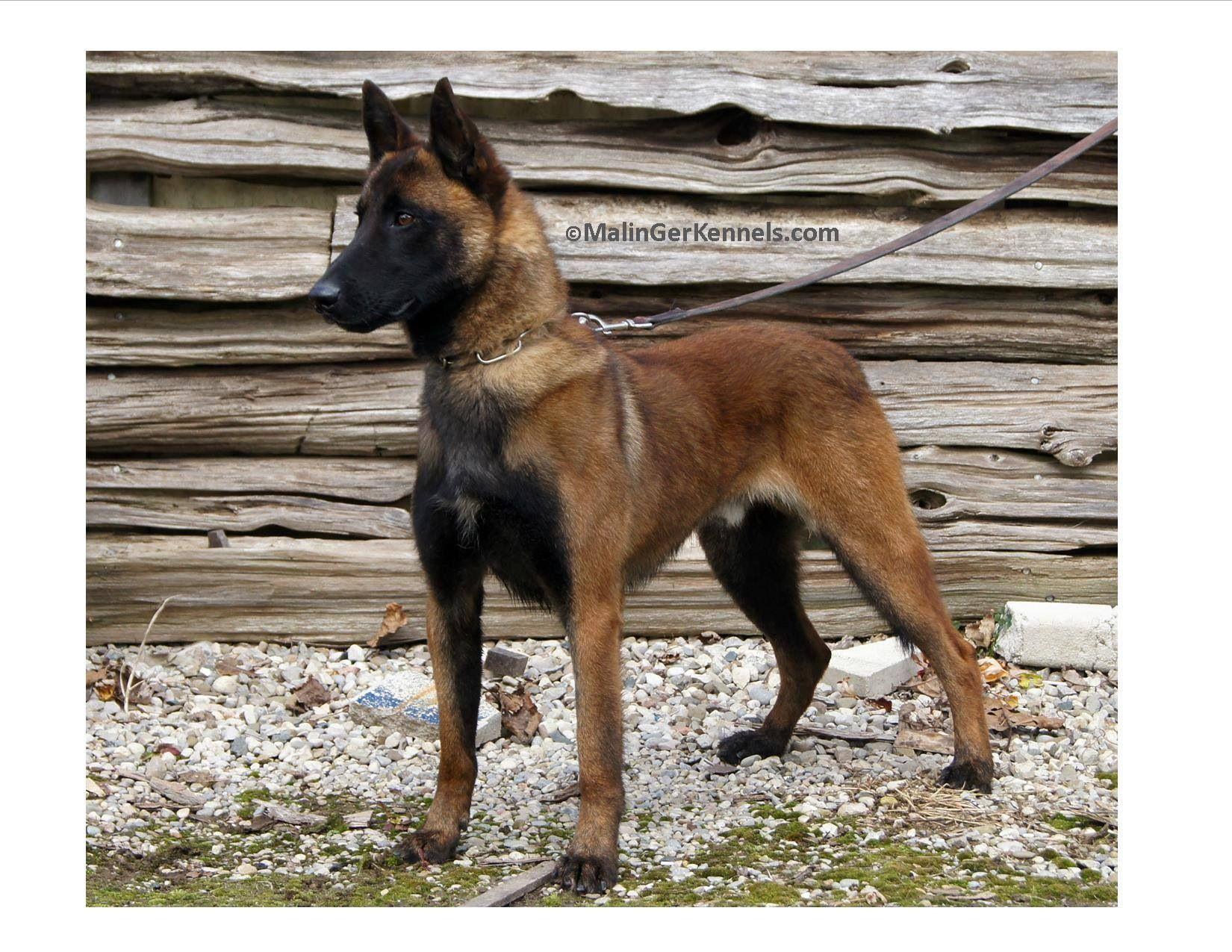 Belgian Malinois Belgian Malinois Dog Malinois Belgian Shepherd