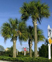 Are Palm Trees Native To Hilton Head Island