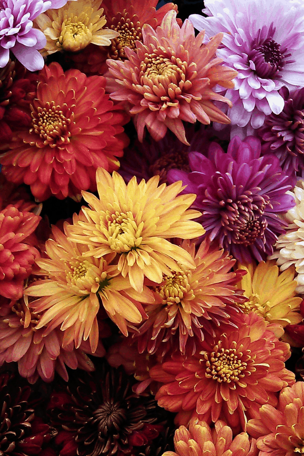 Fall Flowers to Plant For Seasonal Color Fall