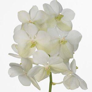 orchidee vanda blanche