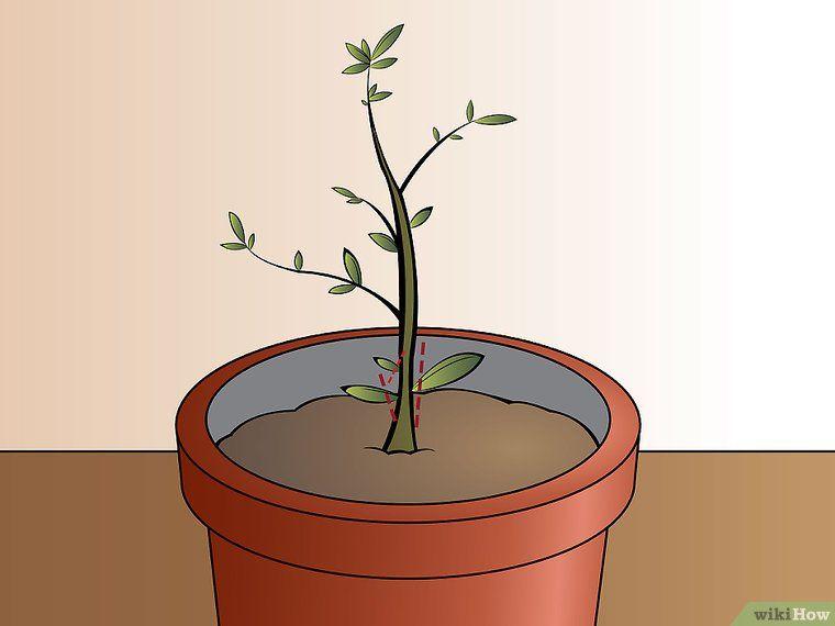 Einen Olivenbaum aus einem Kern ziehen