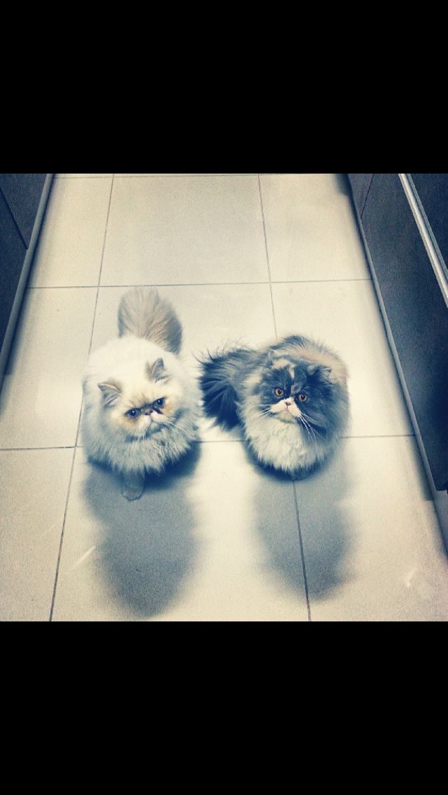 Pin By Mayara Marques On Gatos Persian Cat Animal Planet Animal Lover