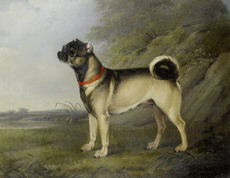 This Is A Pug Back In The Early Days Still Got The Curly Tail At