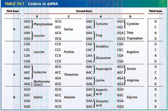 Codons and Amino Acid cram for the exam board Pinterest - amino acid chart