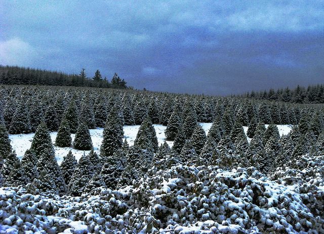 Christmas Tree Farm With Light Dusting Of Snow