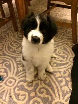Marley Newfoundland Dog Mix Australian Shepherd Baby Female Large Heavensown Pet Rescue Waxhaw Nc Dog Mixes Fur Babies Dogs