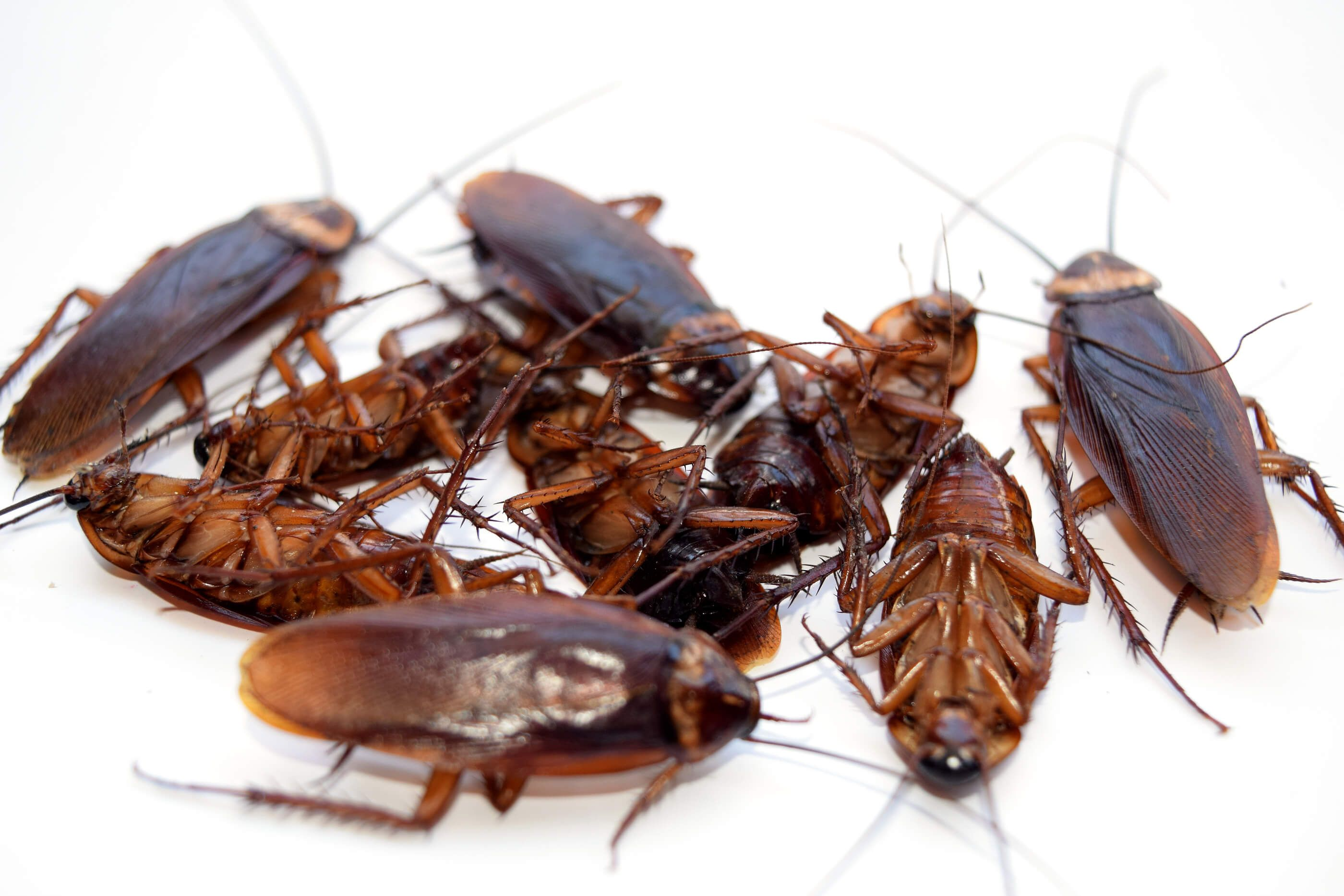 Image result for Cockroach   pest control services