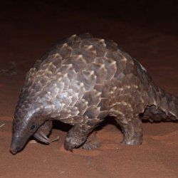 Rare Pangolins May Be Eaten to Extinction : DNews
