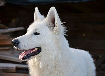 The White Wolves White Swiss Shepherd Breed Puppies For