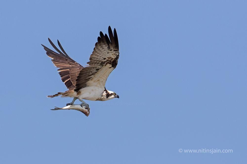 Osprey flying with big fish in it's talons, Near Jamnagar, Jan 2016, Canon 7d mk2 + Canon 500mm