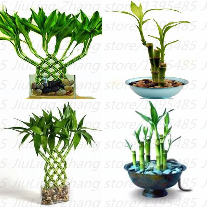 Mixed 30 Pieces Lot Lucky Bamboo Seeds Potted Balcony Outdoor Indoor Plant For Home Garden Flower