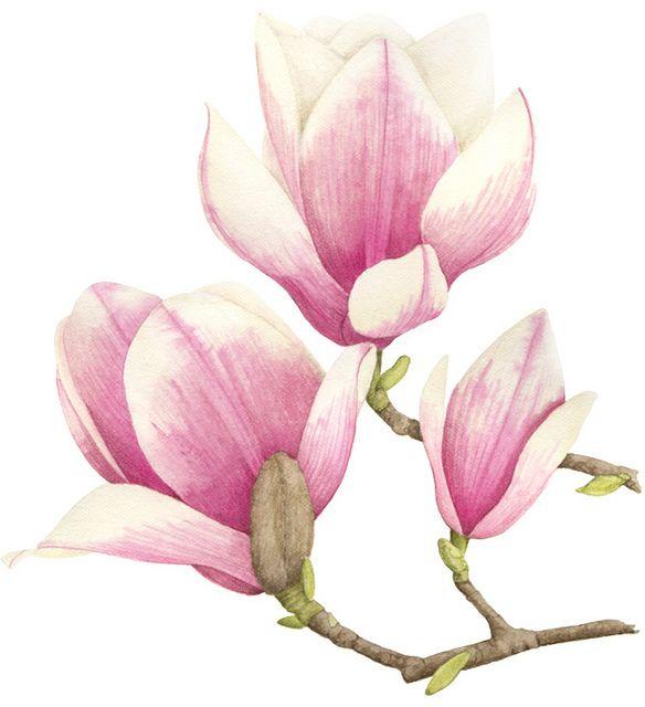 Magnolia Illustration Aquarela Pintura Com Stencil Aguarela