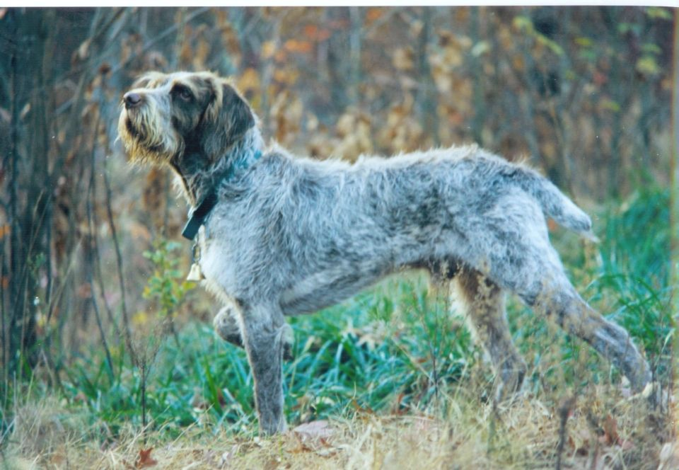 Bohemian Wirehaired Pointing Griffon | 1001 Dogs | Pinterest ...