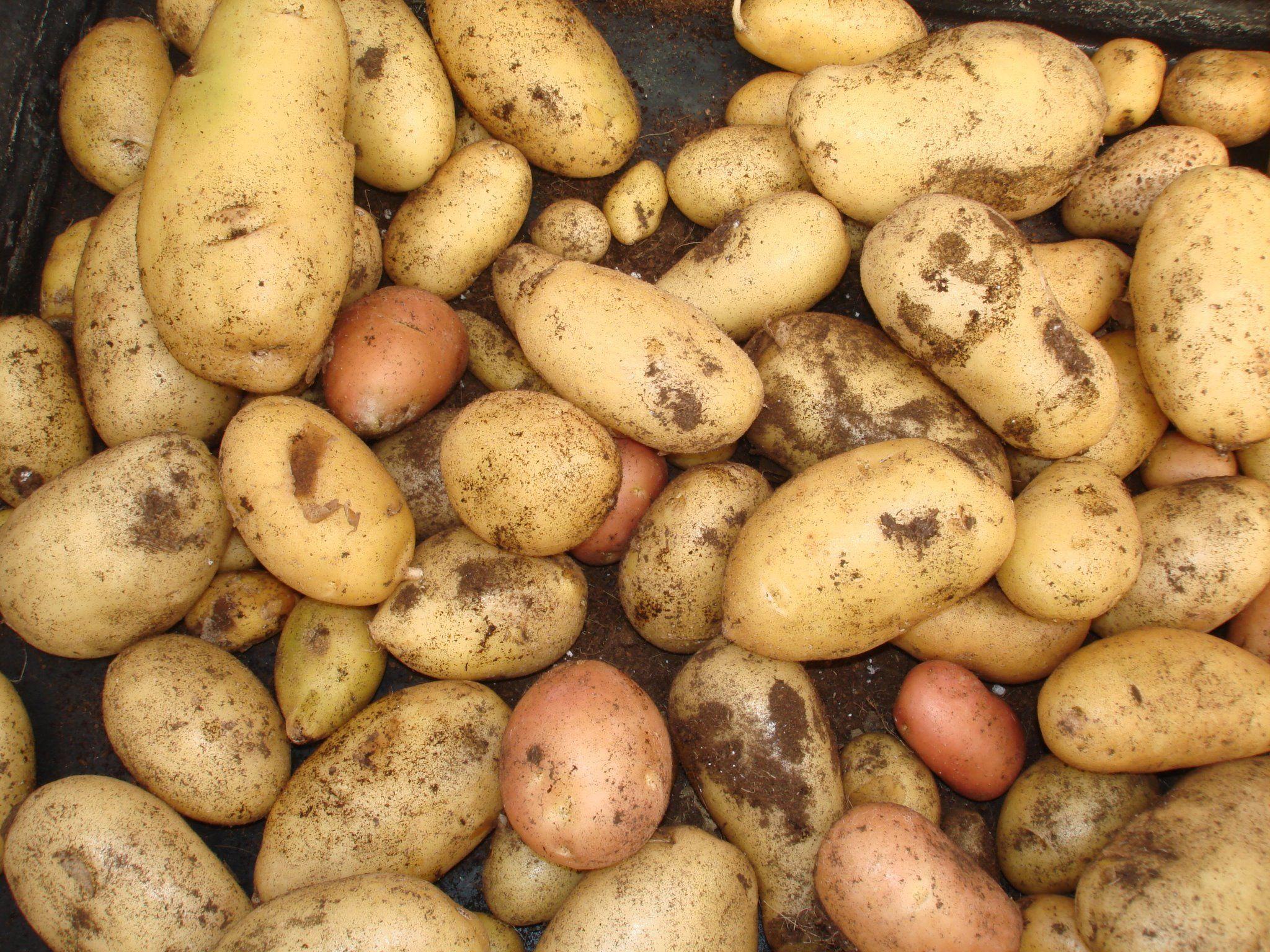 Como Conservar las patatas del huerto más tiempo. Las patatas una vez cosechadas pueden ser almacenadas durante más tiempo en cualquier lugar oscuro y se...