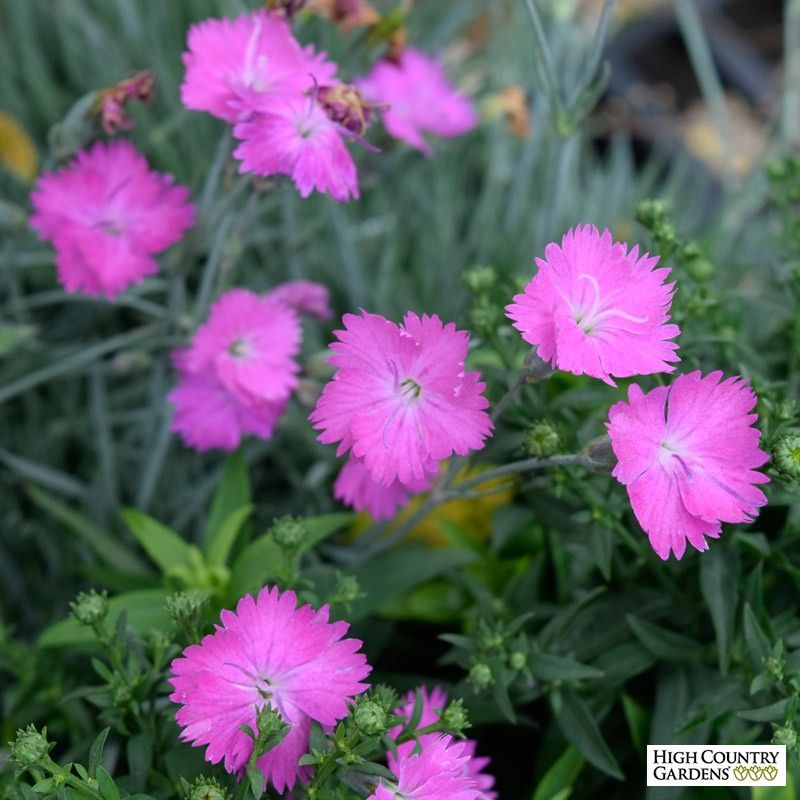 Dianthus firewitch is a great garden pink with strongly fragrant dianthus firewitch is a great garden pink with strongly fragrant rose pink flowers and attractive gray blue evergreen foliage the 2005 perennial plant mightylinksfo