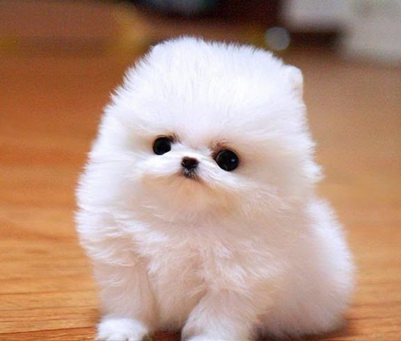 This Dog Looks Like A Snowflake Ate A Dog Top 10 Smallest Dog