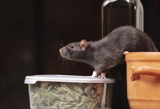 ice and rats tend to stay out of sight most of the time, but