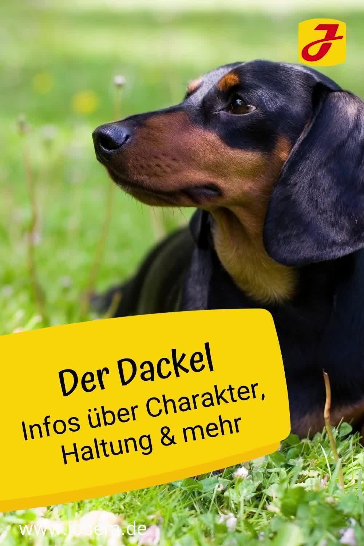 Ratgeber Hunde Video Video Dackel Hunde Rassen Hunderassen