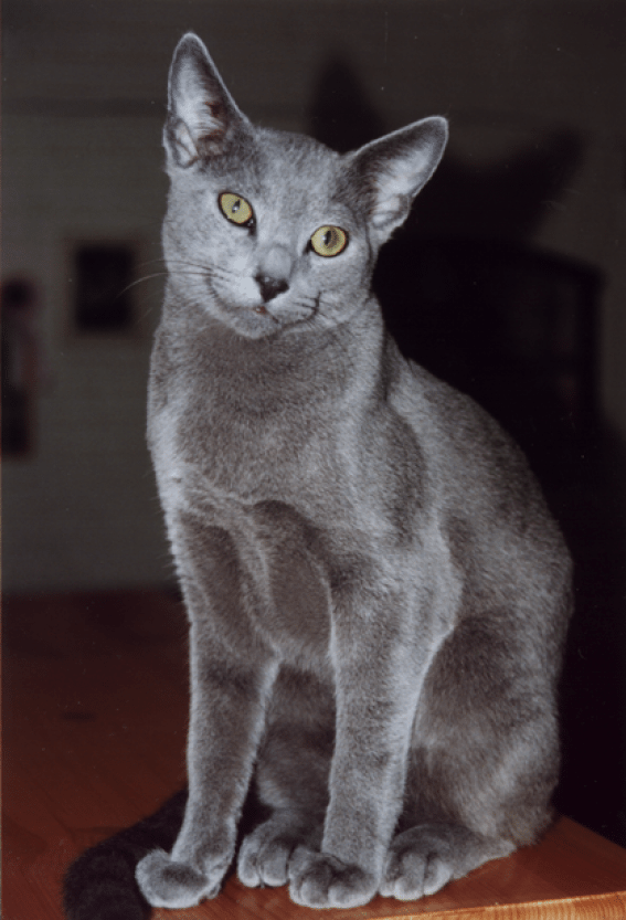 Russian Blue is on the list of approved breeds for my next