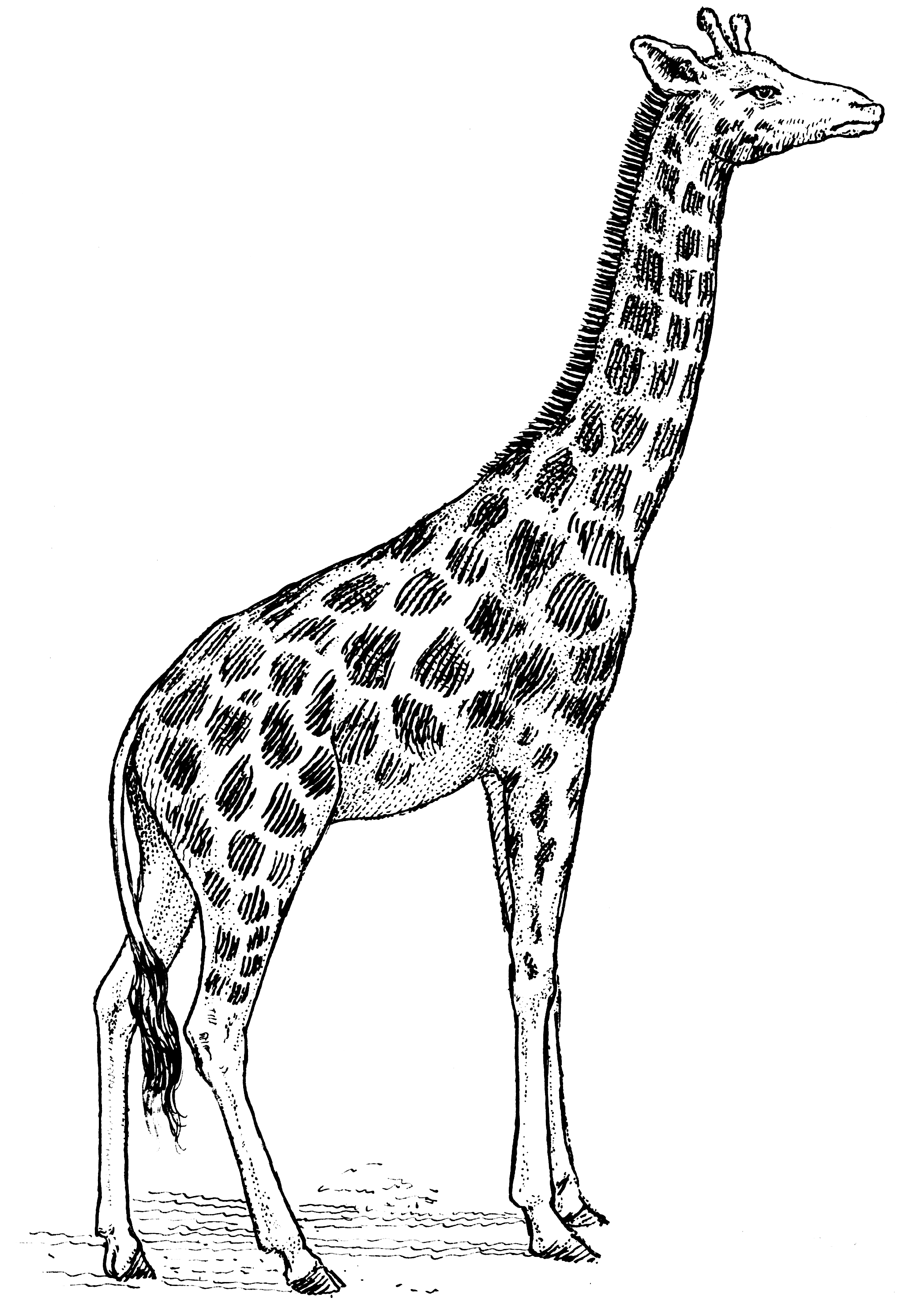 Uncategorized Simple Giraffe Drawing this photo is going to be blown up and on my living room wall black white drawings african wildlife yahoo image search results
