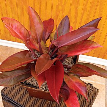 Red Leaf Philodenderon Philodendron Erubescens Has Reddish Purple Stems And Large Coppery Leaves