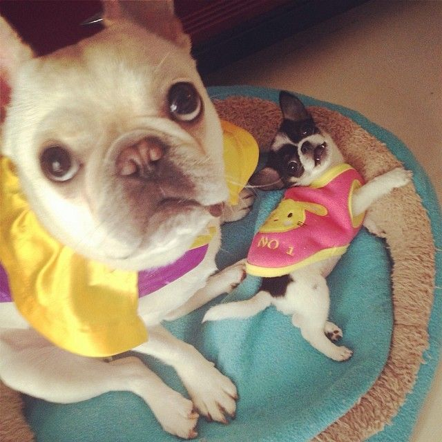French Bulldog And Chihuahua Puppy Are Besties With Images