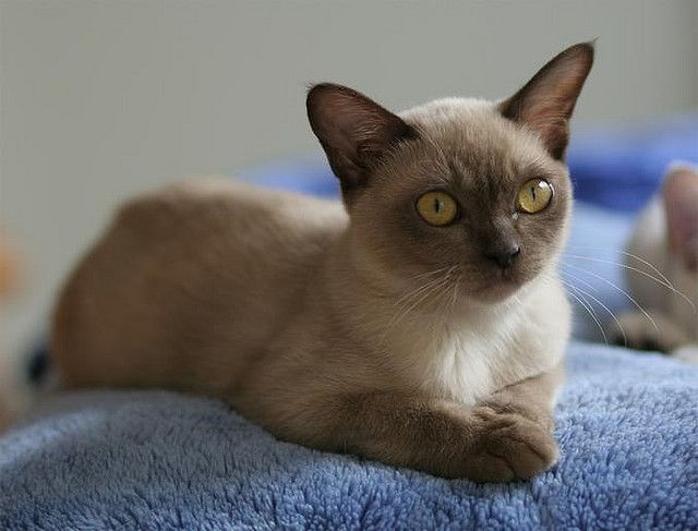 Another probably Chocolate Burmese By 应该一无所有 @ Flickr | Mixed