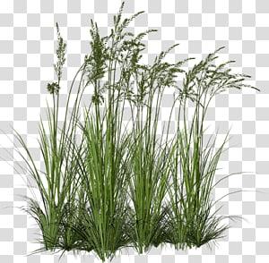Ornamental Grass Grasses Tallgrass Prairie Grass Trees Transparent Background Png Clipart Tree Photoshop Ornamental Grasses Grass Textures