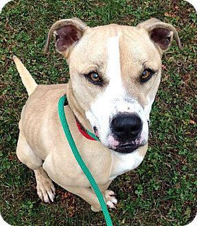 Westampton Nj American Staffordshire Terrier Labrador Retriever Mix Meet Aimee D 53173 Pooch With Per Kitten Adoption Pets American Staffordshire Terrier