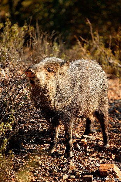 Javelina Photos Javelina Captive Arizona Sonora Desert Museum Tucson Arizona Javelina S Are Not Pigs And They Can Be Desert Animals Javelina Animals Wild