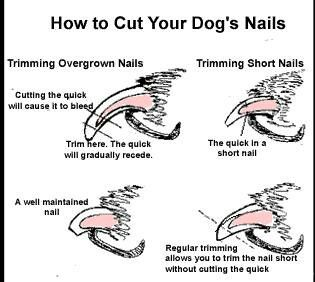 Picture Of Dog Nail Quick