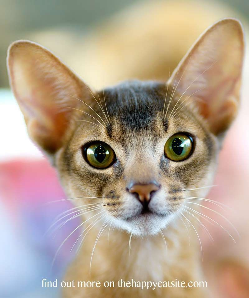 Abyssinian Cat Personality