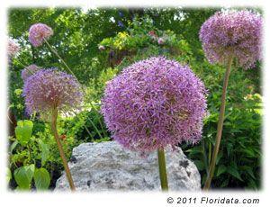 Floridata Allium Giganteum Plants Allium Giganteum Flowers