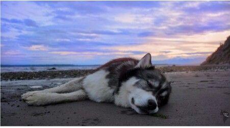 Pin By Bethany B On Husky Love Dogs Siberian Husky Rescue Dogs