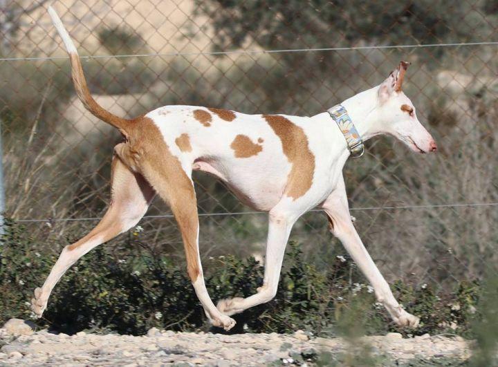 Adopt Santana on hound, Help homeless pets, Dog
