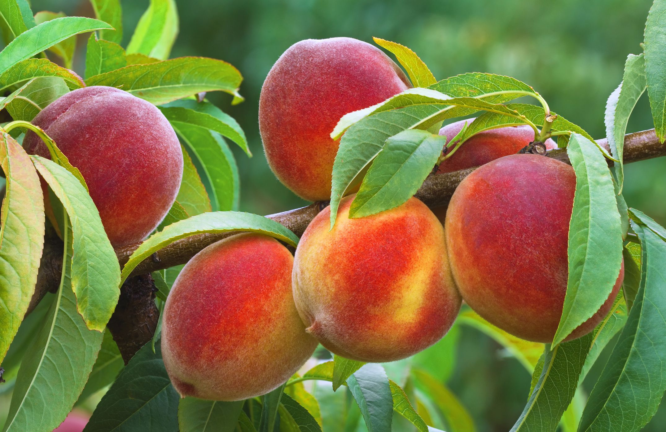 After You Finish Your Peach Don T Throw Away That Seed By Planting It You Can Nurture A Tree That Will Eventually Bear Frui Growing Fruit Fruit Fruit Plants