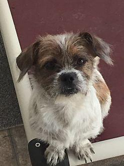 Pennigton Nj Shih Tzu Meet Oddie A Dog For Adoption Dog