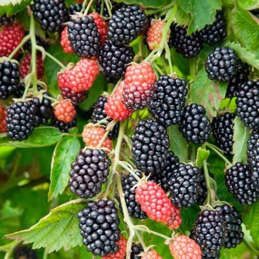 Blackberry Seeds Giant Loch Ness Rare Huge Berries Gmo Free 25