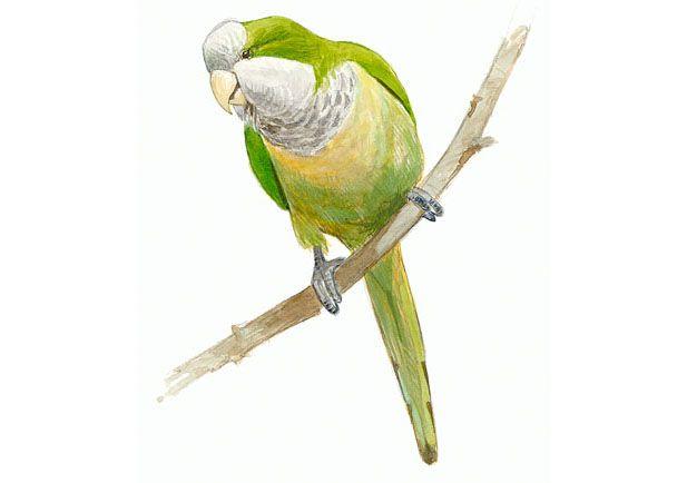Cotorra argentina | SEO/BirdLife