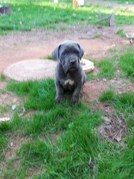 Cane Corso Puppy For Sale In Atlanta Ga Adn 24720 On Puppyfinder